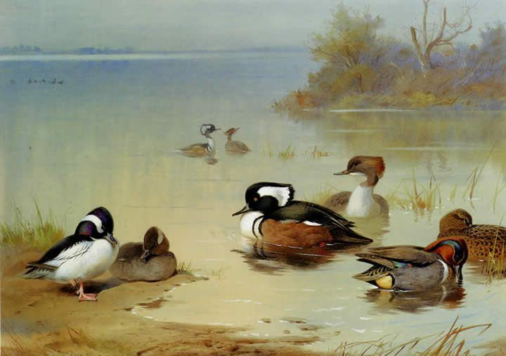 Archibald Thorburn Buffel headed duck American green winged teal and hooded merganser