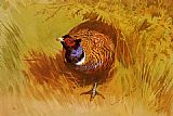 Archibald Thorburn A Cock Pheasant painting
