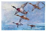 Archibald Thorburn Mallard in Squally Weather painting