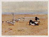 Archibald Thorburn Oyster Catchers Terns and Ringed Plovers painting