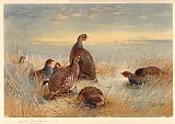 Archibald Thorburn Partridges in the Stubble painting