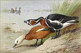Archibald Thorburn Ruddy Shelduck and Red Breasted Goose painting