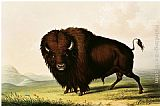 George Catlin A Bison, circa 1832 painting