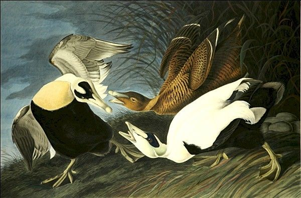John James Audubon Eider Duck