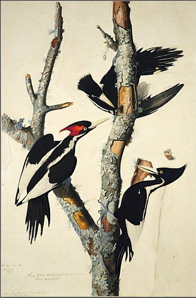 John James Audubon Ivory-Billed Woodpecker