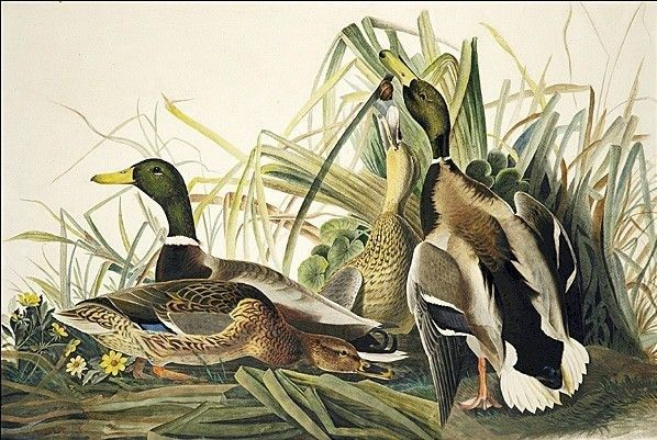 John James Audubon Mallard