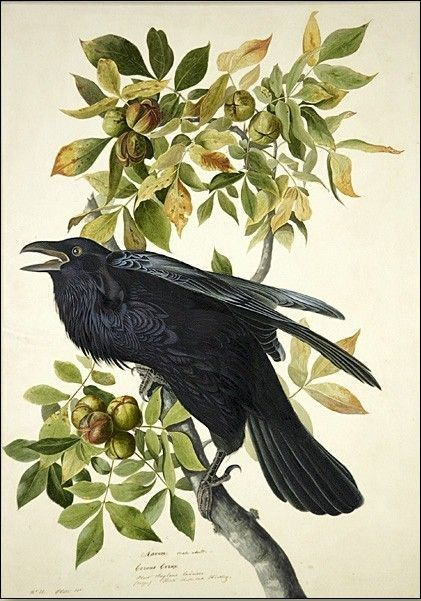 John James Audubon Raven