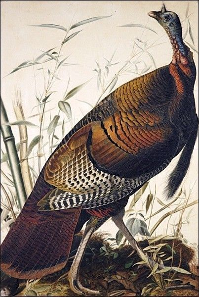 John James Audubon Wild Turkey