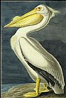 John James Audubon American White Pelican painting