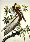 John James Audubon Brown Pelican painting