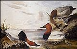 John James Audubon Canvasback Duck painting