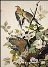 John James Audubon Carolina Pigeon, Mourning Dove painting