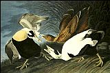 John James Audubon Eider Duck painting