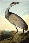 John James Audubon Hooping Crane painting