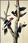 John James Audubon Ivory-Billed Woodpecker painting