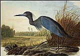 John James Audubon Little Blue Heron painting