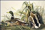 John James Audubon Mallard painting