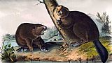 John James Audubon North American Beaver painting