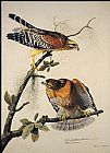 John James Audubon Red-Shouldered Hawk painting