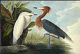 John James Audubon Reddish Egret painting