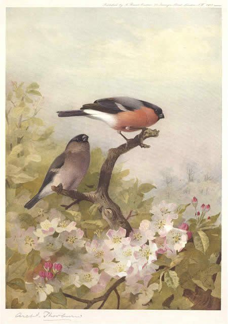 Archibald Thorburn Cock and Hen Bullfinches