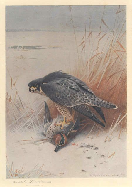 Archibald Thorburn Peregrine Falcon on Teal