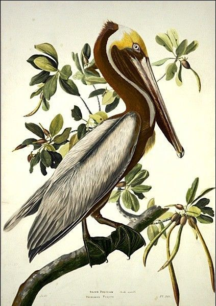 John James Audubon Brown Pelican