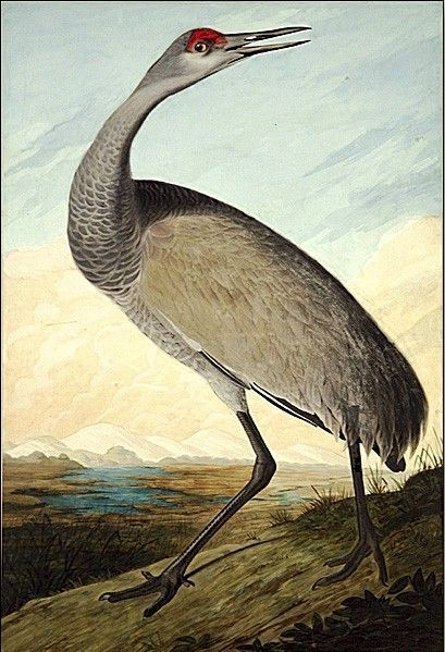 John James Audubon Hooping Crane