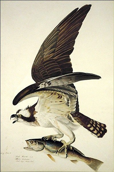John James Audubon Osprey
