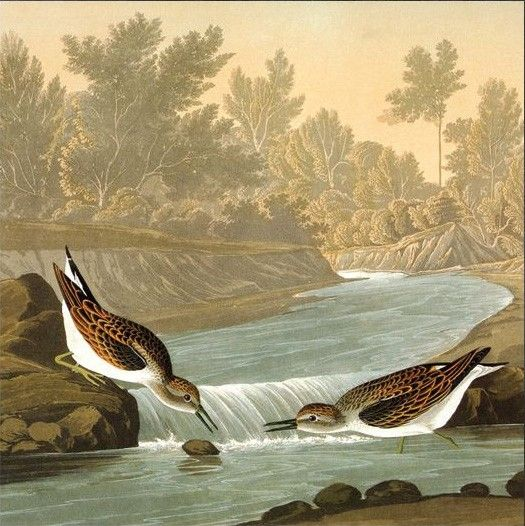 John James Audubon predators