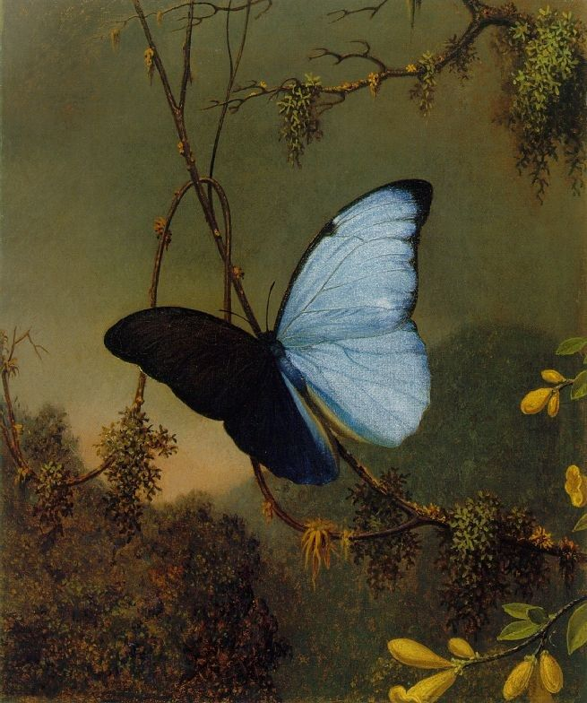 Martin Johnson Heade Blue Morpho Butterfly